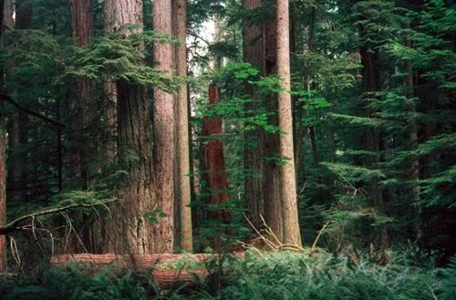 Cathedral Grove, árboles gigantes en Canadá