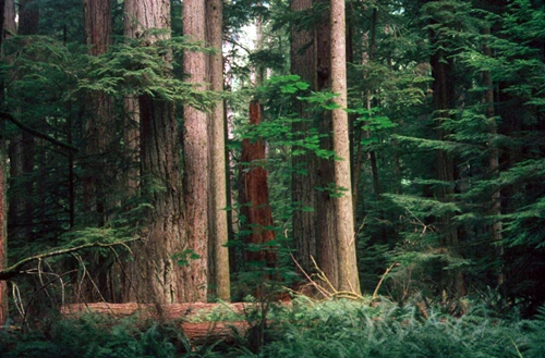 Bosques gigantes