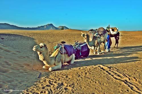 Dromedarios en el desierto de Zagora