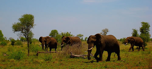 Elefantes sudafricanos