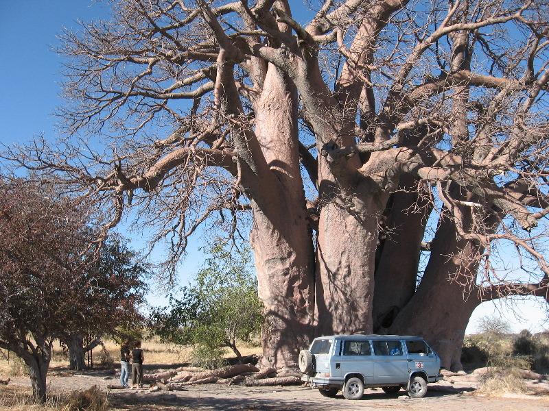 Baobab en Makgadikgadi