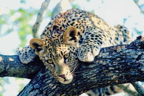 Leopardo en el Parque Nacional Kruger, Sudafrica