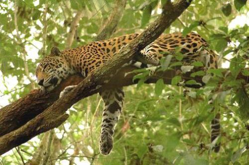 El Yaguareté, especie autóctona