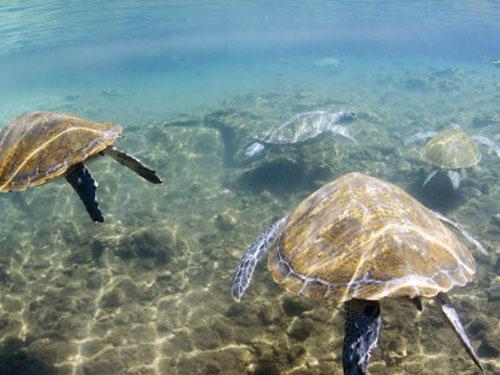 Nadar con tortugas en Satoalepai, en Samoa