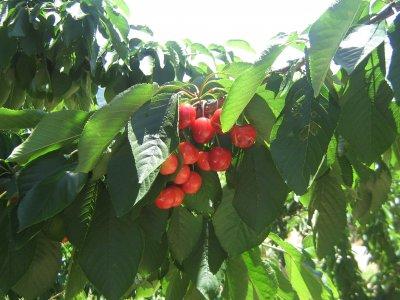 La cereza, el fruto del Valle del Jerte