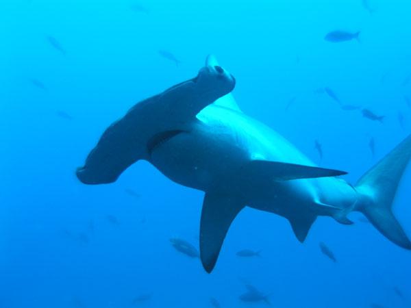 tiburon-martillo.jpg