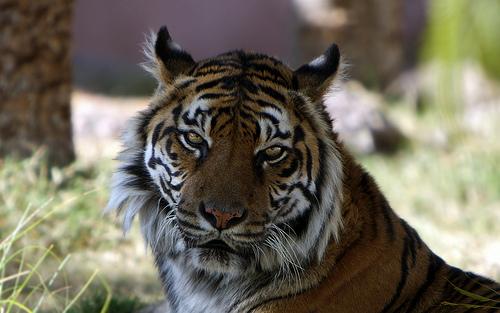 Tigre de Sumatra en Phoenix Zoo
